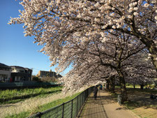下堀公苑 桜