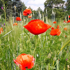 Nektar-Botanik Mohn Pflanze des Jahres