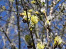 Biene auf Weidenkätzchen, Harzer Gebirgsimkerei