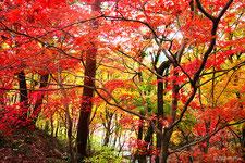 秋は見事に紅葉(関西の紅葉の名所のページに移動します)
