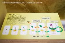 大阪市立自然史博物館のカタクリの説明より