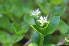 春の七草(草花の説明)