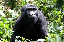 Gorillatrekking