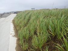 茨城県のはまにんにく砂草植栽