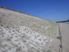 新潟県のハマニンニク砂草植栽