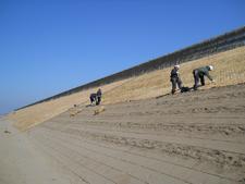 石川県のはまにんにく砂草植栽