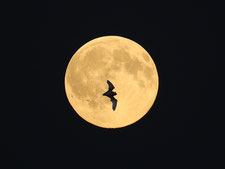 Fotomontage aus Mond und Abendsegler