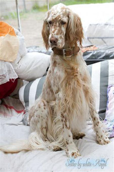 Draga by white Angel English Setter, Amerikanisch/Englisch Linie