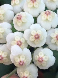 Hoya rotundiflora
