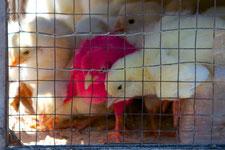 Vogelmarkt von Malang