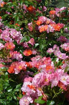 Le rosier 'Eclats d'Ambre' by Creamelarosa