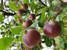 Schön gefärbte Äpfel aus eine unserer Streuobstwiesen (Foto D. Mohr)