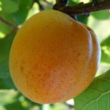 abricot bulida- bendola