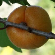 abricot hargrand 1- bendola