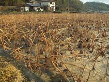 (昨年の10月)収穫前のほ場
