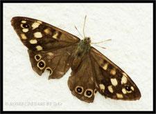 Schmetterling Waldbrettspiel