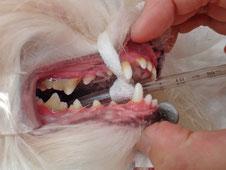 歯石もタイプはいろいろ。この子も奥の方の歯は歯石で覆われています。