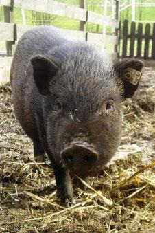Hängebauchschwein Trüffel