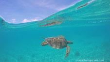 ウミガメの半水面写真