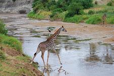 Giraffe am Manyara See