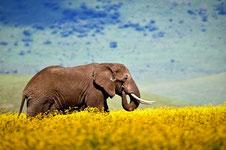 Elefant während der Campingsafari im Serengeti Nationalpark