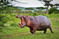 Nilpferd im Tarangire Nationalpark