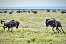 Gnu-Herde während der Rundreise durch 4 Naturreservate