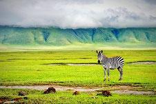 Zebra im Ngorongoro Krater