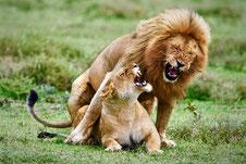 Löwenpaar im Serengeti Nationalpark