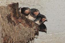Rauchschwalben im Nest (Foto: A. Hartl LBV-Bildarchiv)