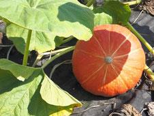 Hokkaido-Kürbis: lecker und einfach in der Zubereitung, da man die Schale mitisst