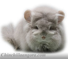 Standard Grey Royal Persian Angora Chinchilla