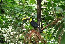 Toucan in Arenal