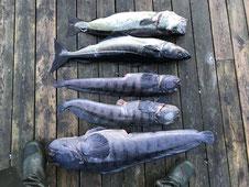 Lachse angeln in Norwegen, angeln in Meer und Fjord aufSteinbeißer, Pollack, Dorsch,