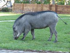 Warzenschwein als Haustier
