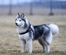 un chien husky blanc et bleu debout à l'écoute de son maître par coach canin 16 éducateur canin en charente