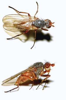 Heleomyzini gen. sp.