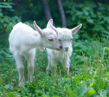 """фермерское хозяйство """"100 коз"""""""