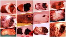 Meerschweinchen alle Rassen