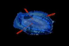 Esemplare di V. velella visto dal basso. La porzione fotografata è quella immersa nell'acqua
