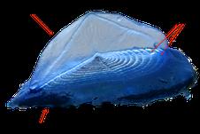 Visione laterale di un esemplare di V. velella