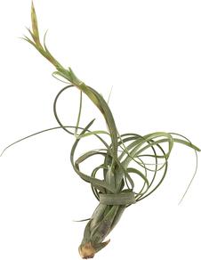 Tillandsia balbisiana