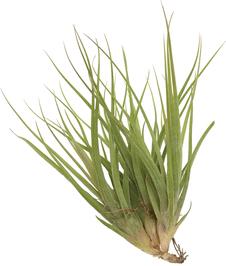 Tillandsia rectifolia