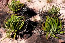 Dyckia secundifolia (Foto: Leme)