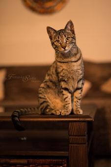 Franziska Spohn Fotografie - Tierfotografie, Katzenfotografie, Indoorshooting, brave getigerte Katze, Katze auf Tisch sitzend