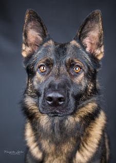 Franziska Spohn Fotografie - Indoorshooting, Tierfotografie, Hundefoto, Deutscher Schäferhund, Studiofotografie, Hundeblick