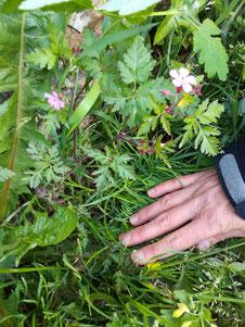 Géranium robert - Géraniacées Coubortiges, sur la commune de Pouffonds, à quelques kilomètres de Melle en Sud Deux-Sèvres
