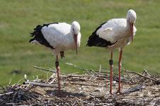 Die beiden beringten Altvögel im August (Foto: Agnes Schulz)