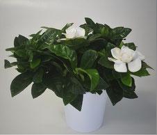 Gardenia in witte keramiek pot