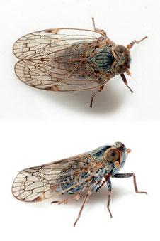 Reptalus quinquecostatus